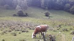 Barni – Km. 15 – 18/08/19 (Londrina92Bis) Tags: barni como lombardia lombardy fiasp tapasciata nature cow mucca outdoor mountains summer estate