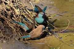 Blauastrild am Wasserloch (naturgucker.de) Tags: ngid353124228 uraeginthusangolensis blauastrild