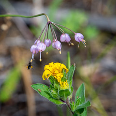 hover above (Pejasar) Tags: bee insect fly hover pollen gather flower blossom bloom estespark colorado