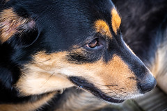 The eyes have it (FotoFloridian) Tags: dog pets animal cute canine looking mammal domesticanimals puppy blackcolor outdoors brown portrait fur friendship animalhead closeup sony alpha a6400