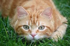 Spritz (En memoria de Zarpazos, mi valiente y mimoso tigre) Tags: cat kitten gato gatto chat rosso roux red ginger orangetabby orange gattoarancione greeneyes garden grass spritzeddu spritz
