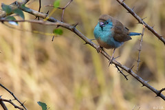 Blue Waxbill (naturgucker.de) Tags: ngid1372756532 uraeginthusangolensis blauastrild