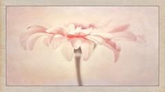 Gerbera daisy (gks18) Tags: canon macro lightroom nik iphone pink framed