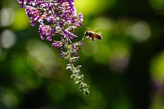 bee in bokeh (Paul wrights reserved) Tags: backlit backlight bee beeinflight bokeh bokehphotography flower flowers beautiful flowering summer darkness light