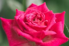 Für die Liebe einer Rose macht sich der Gärtner zum Sklaven von tausend Dornen. (DOKTOR WAUMIAU) Tags: 90mm d7200 ishootraw nikon lightroom macro makro tamron rose roses vscofilm