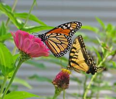 Monarch & Tiger swallowtail butterflies (Vicki's Nature) Tags: monarch butterfly tigerswallowtail males butterflies zinnias flowers blossoms pink yellow brown yard georgia vickisnature canon s5 0127 return returnbigfave