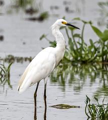 Snowy Egret (gary_photog) Tags: coth alittlebeauty fantasticnature snowyegret arkansas nature wildlife birds coth5
