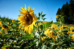 Sun Flower (bhanakam) Tags: sun flower sunny bright summer field forest woods sky blue warm outdoors hike hiking germany bavaria franconia