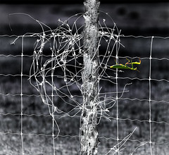 a stranger in the night (marianna armata) Tags: fence hff barbedwire night neg mantid mantis insect green selectivecolour composite mariannaarmata