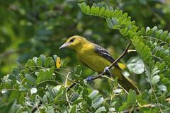 Orchard Oriole (jt893x) Tags: 150600mm bird d500 female icterusspurius jt893x nikon nikond500 orchardoriole oriole sigma sigma150600mmf563dgoshsms