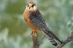 Red-footed Falcon (female) (Ian Locock Photography) Tags: 2017 birds female hortobagy hungary redfootedfalcon
