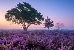In a row (Ellen van den Doel) Tags: zonsopkomst natuur color nature mist boom outdoor augustus tree sunrise landscape purple netherlands landschap kleur lucht heide bussum sky fog heather 2019 wolken field hilversum noordholland nederland