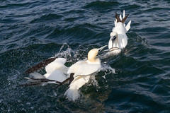 Whoops ! (Sueyork58) Tags: gannets bempton yorkshire yorkshirecoastnature wildlife seabirds