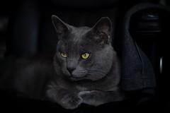 Pensive Dex (CaveArt3) Tags: cat pensive ponder chairstealer tidypaws face russian blue eyes intense feline dex