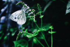White butterfly (fairytalesphotography) Tags: wildlife insect butterfly leaf outdoors animal wings white nature green pretty beautiful natural sunlight field closeup macro summer spring rest cupidocomyntas metamorphosis diminutive tailed gray blade everes comyntas native grass adorable season detail light blue tiny spots garden orange delicate resting male tail silver eastern wallpaper biology winged vein bug entomology