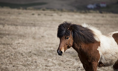 'Iceland pony' (Timster1973 - thanks for the 18 million views!) Tags: pony animal nature natural iceland icelandic land landscape landscapes beautiful tim knifton timster1973 timknifton exploration canon color colour travel trip