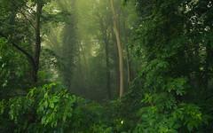 Green is the Hope (Netsrak) Tags: baum bäume eu europa europe forst landschaft natur nebel wald fog forest landscape mist nature tree trees woods rheinbach nordrheinwestfalen deutschland