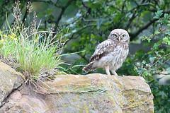 Little Owl (Roy Lowry) Tags: littleowl burtonpoint athenenoctua
