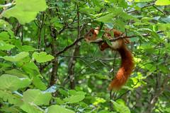 Sciurus vulgaris (Ecureuil roux) (Sophie Giriens) Tags: écureuil roux deurope sciurus vulgaris