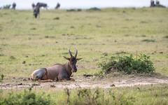 Topi - Damaliscus korrigum (cradenborg) Tags: c cceradenborg 2019 bovidae damaliscuskorrigum evenhoevigen holhoornigen kenia kenya masaimaranp nature openbaar public safari topi wildlife