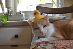 Otis wore the rubber ducky with pride. (rootcrop54) Tags: cc100 otis dilute orange ginger tabby male cat yellow rubberducky goodsport funny neko macska kedi 猫 kočka kissa γάτα köttur kucing gatto 고양이 kaķis katė katt katze katzen kot кошка mačka gatos kotek мачка maček kitteh chat ネコ cc200