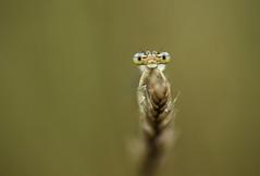 damsefly minimalism (Sebo23) Tags: damsefly dragonfly libelle macro makro makrofotografie naturaufnahme insect nature canon10028l canoneosr bokelisious