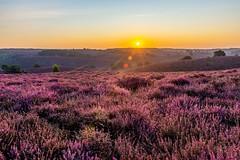 Bloeiende heide bij de Posbank (Lbfoot) Tags: nikon zomer nikkor posbank heide zonsopgang paars d600 heuvels nikkor2470f28 nederland
