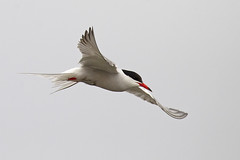 Common Tern (JaneTurner68) Tags: commontern tern bird fishing ythanestuary ythan estuary aberdeen scottishhighlands scotland canon1dmkiv canon100400mmmkiilens canon