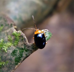 Chrysomelidae (gailhampshire) Tags: chrysomelidae papua new guinea insect