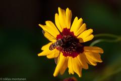 Flower macro (aixcracker) Tags: nikond3 nikonafs200mmf4dedmicro macro makro flower blomma kukka borgå finland porvoo suomi august augusti elokuu summer sommar kesä green grön vihreä yellow gul keltainen red röd punainen white vit valkoinen garden trädgård puutarha