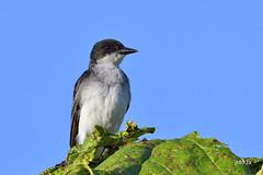 Eastern Kingbird (jt893x) Tags: 150600mm bird d500 easternkingbird flycatcher jt893x kingbird nikon nikond500 sigma sigma150600mmf563dgoshsms tyrannustyrannus