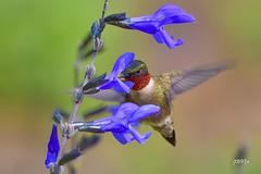 Ruby-throated Hummingbird (jt893x) Tags: 150600mm archilochuscolubris bif bird d500 hummingbird jt893x male nikon nikond500 rubythroatedhummingbird sigma sigma150600mmf563dgoshsms
