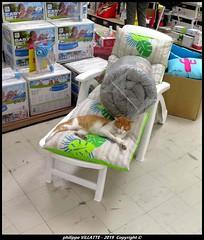chat dans un magasin de bricolage (villatte.philippe) Tags: chat animaux repos chaise longue