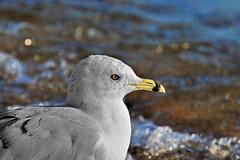 Ring-billed (Jan Nagalski) Tags: bird gull scavenger ringbilledgull white yellow michigan jannagalski jannagal nature wildlife summer