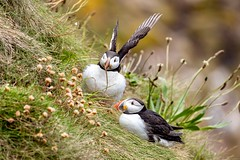 A pair of Puffins (georgehart64) Tags: bullersofbuchan puffin canoneosr canon scotland
