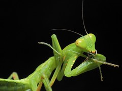 2019-08-24_01-43-13 (月犬火) Tags: prayingmantis 螳螂 brushingteeth