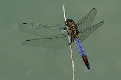 dragonfly (luporosso) Tags: natura nature naturaleza naturalmente nikon nikond500 nikonitalia rossolupo imdifferent libellula dragonfly macro closeup