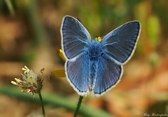 Blue magic (mary.th) Tags: butterfly insect flower macro closeup bokeh sunlight blue nature