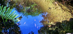 The Shadows of Fish Swimming (Zoom Lens) Tags: pond fish water sunlight reflection refraction shadows colorful ripples leaves fallenleaves