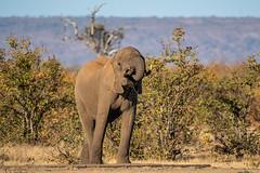 elephant - Kruger NP - South Africa (bart coessens) Tags: animals animal mammal mammals elephant olifant wildlife wild wildanimals game gameviewing gamedrive herbivore safari sanp sanparks southafrica southafricannationalparks southernafrica kruger krugernationalpark limpopo h16 middelvlei waterhole nikon d500 nikond500 nature