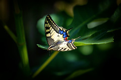 Swallowtail (Missy Jussy) Tags: swallowtail butterfly swallowtailbutterfly wildlife figtree france dordogne branch insect light sunlight nature 70200mm ef70200mmf4lusm canon70200mm canoneos5dmarkii canon outdoor outside
