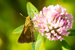 7K8A4880 (rpealit) Tags: scenery wildlife nature weldon brook management area skipper butterfly northern brokendash