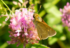 7K8A4887 (rpealit) Tags: scenery wildlife nature weldon brook management area skipper butterfly northern brokendash