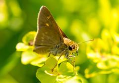 7K8A4888 (rpealit) Tags: nature scenery wildlife management area brook weldon butterfly skipper hern brokendash northern