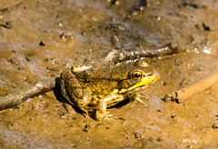 7K8A4917 (rpealit) Tags: scenery wildlife nature weldon brook management area green frog