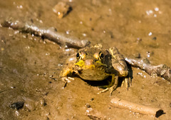 7K8A4919 (rpealit) Tags: scenery wildlife nature weldon brook management area green frog