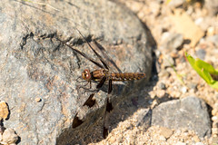 7K8A4927 (rpealit) Tags: scenery wildlife nature weldon brook management area female common whitetail dragonfly