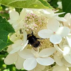 In Flowery Paradise🔆 (halleluja2014) Tags: latesummer dalarna falun bombus humla garden syrenhortensia august summer sensommar hydrangea