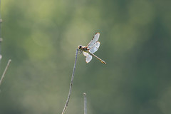 7K8A4953 (rpealit) Tags: scenery wildlife nature weldon brook management area worn barwinged skimmer dragonfly