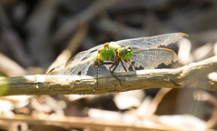 7K8A4974 (rpealit) Tags: scenery wildlife nature weldon brook management area female common pondhawk dragonfly